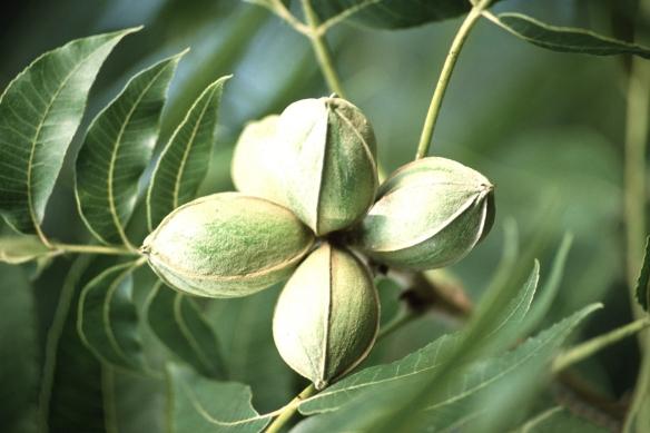 pecan-tree-image1